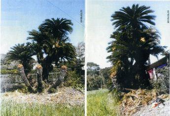 種子島の樹齢150年超?の大蘇鉄をお譲り致します!
